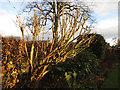 SJ7661 : Midwinter buddleia by Stephen Craven