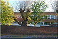 TQ5840 : Pollarded tree, Skinners' School by N Chadwick