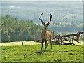 NX5774 : Red deer stag at Laggan o' Dee by Ann Cook
