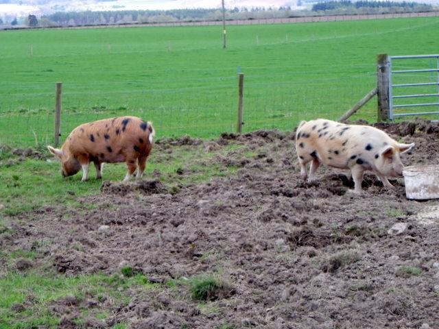 Pigs at  Stewart Tower