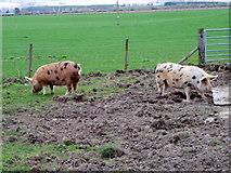NO0936 : Pigs at  Stewart Tower by Maigheach-gheal