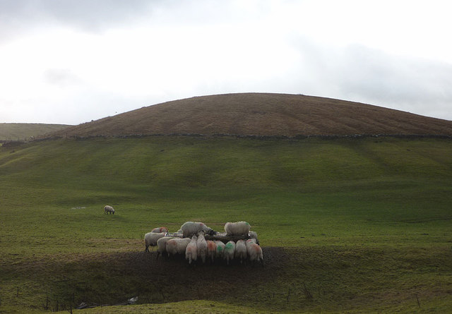 Hungry sheep at Old Ing