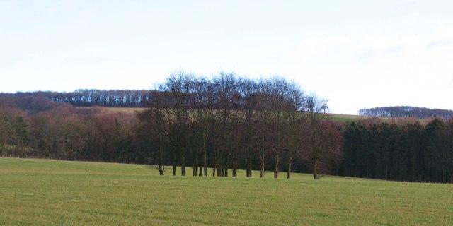 Clump of trees at Kilnwick Percy