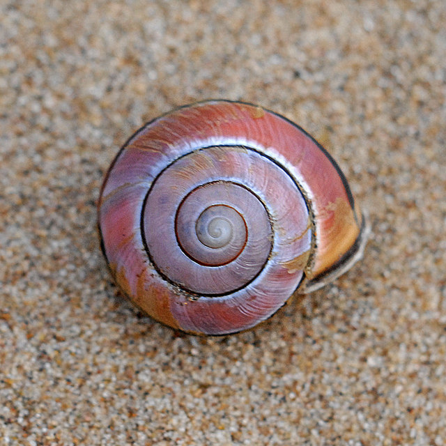 Snail shell in the Formby dunes