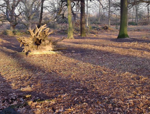 Aftermath of 1987, Conduit Wood, Richmond Park