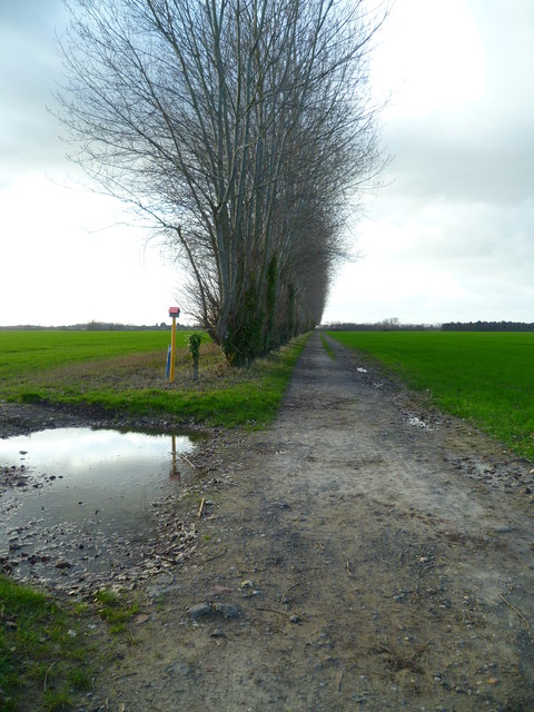 Long straight footpath with poplars
