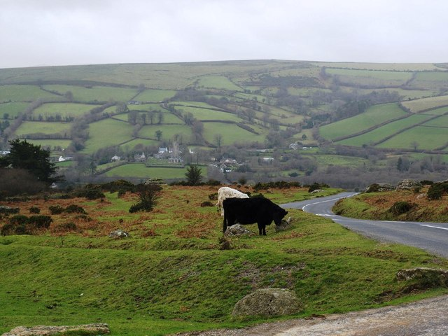 Cattle grazing next to the B3387 above Widecombe