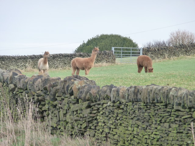 Corner of an alpaca field