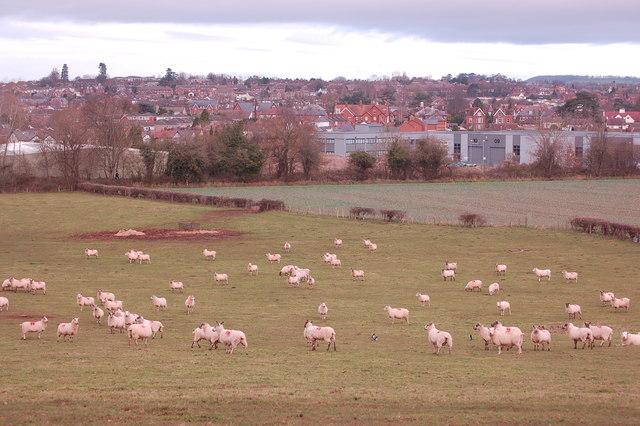 Sheep grazing below Chase Hill