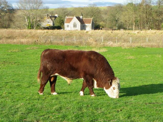 Hereford bull, Little Langford
