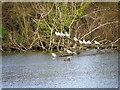 SU0436 : Resting gulls, Langford Lakes by Maigheach-gheal