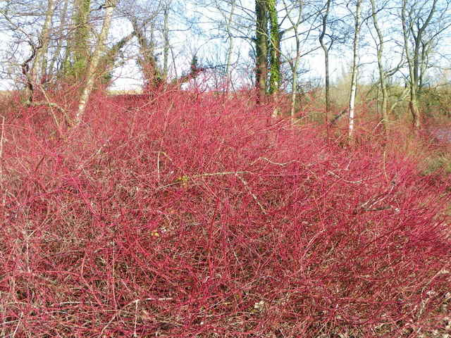Dogwood (Cornus sanguinea), Langford Lakes