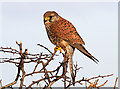 NT8136 : A kestrel on a hawthorn hedge by Walter Baxter