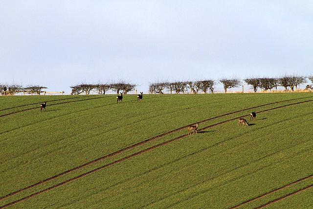 Roe deer in a field at Cornhill on Tweed