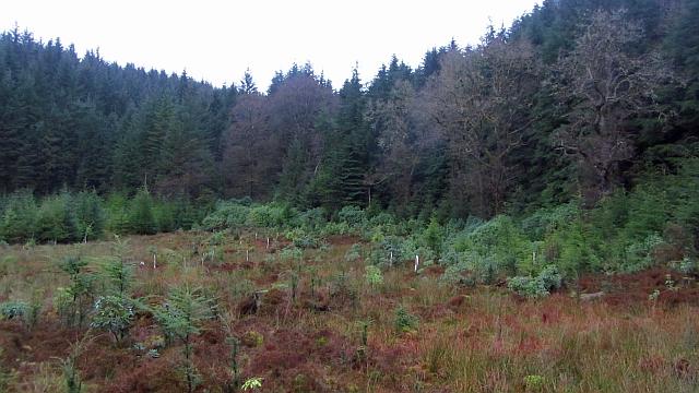 Conifer woods, Lochgoilhead