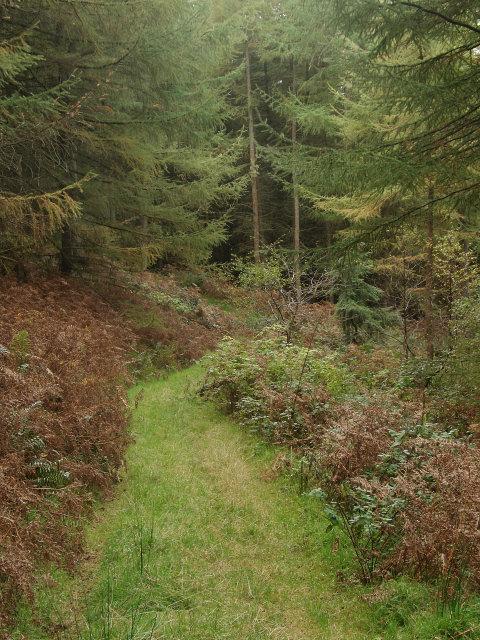 Grassy bridleway in Afan Valley forestry, Foel Penycastell