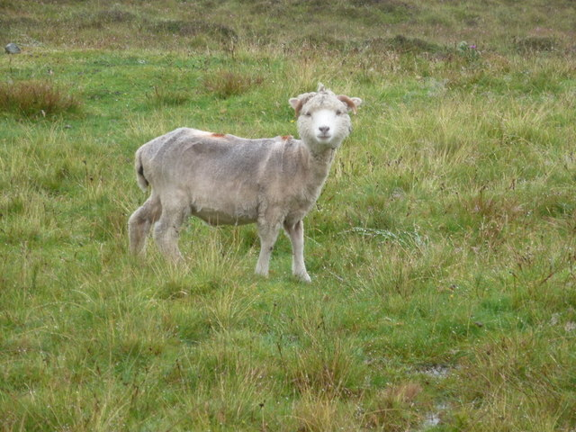 Whalsay: a bedraggled sheep