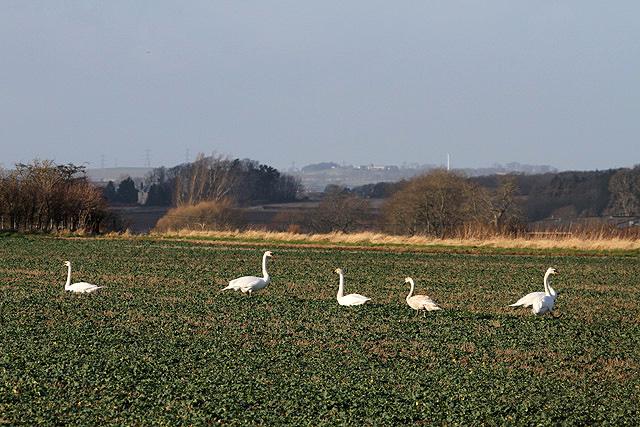 Swans in a field near Wark