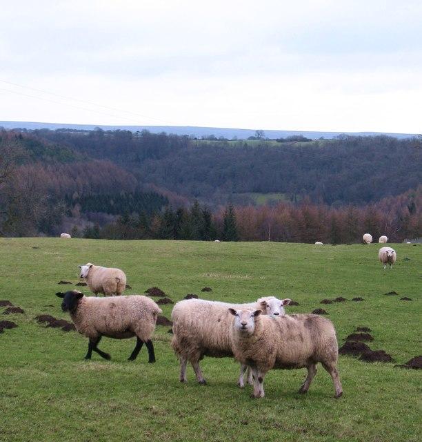 Sheep at Skiplam Grange