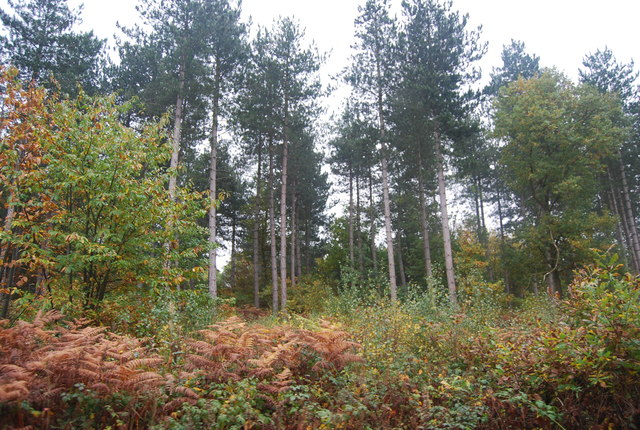 Conifers in Clowes Wood