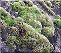 NZ2975 : Moss Close-up by Christine Westerback
