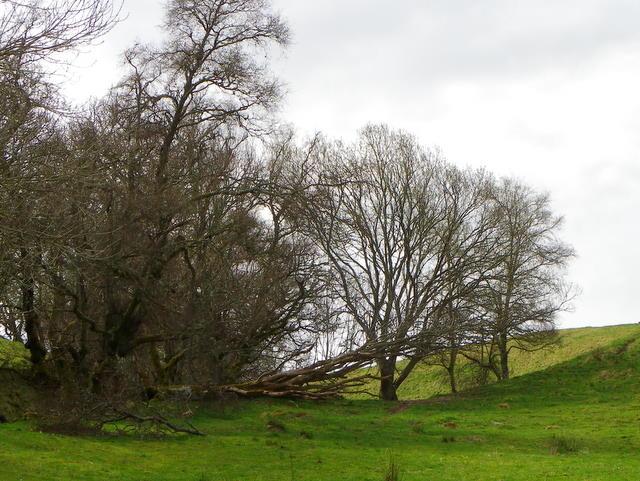 Fallen tree near Ballinlick