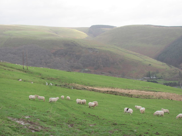 Sheep grazing above Ogmore Vale