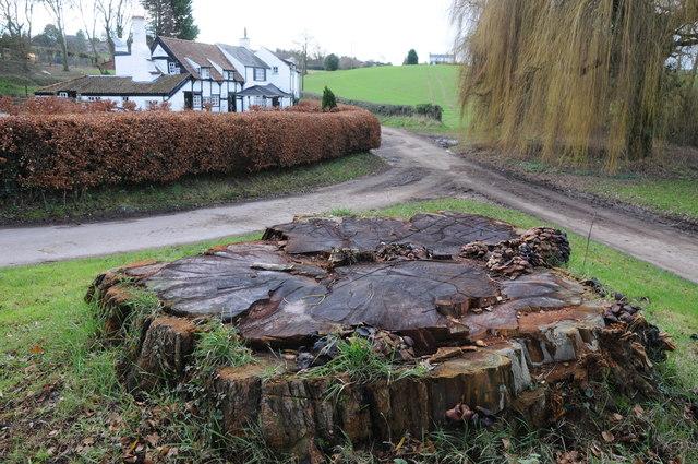 Tree stump at Lough Pool