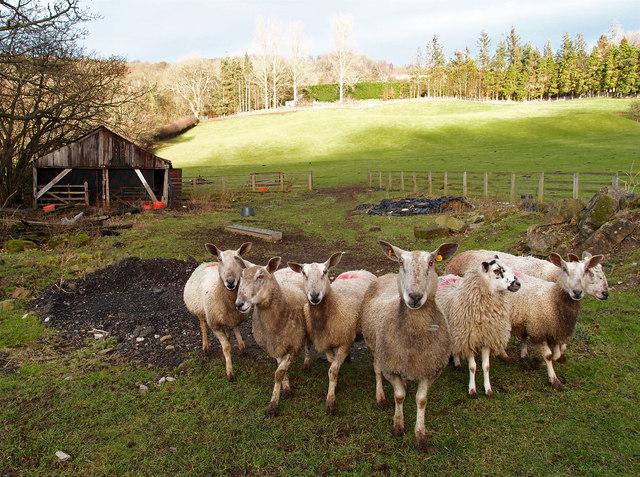 Sheep near Richmond
