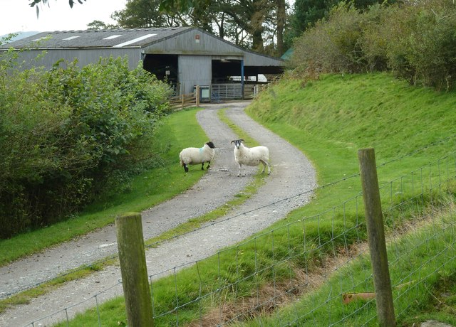 Sheep on the track to Laghead