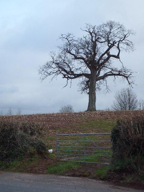 Lone tree near Limetree Cross