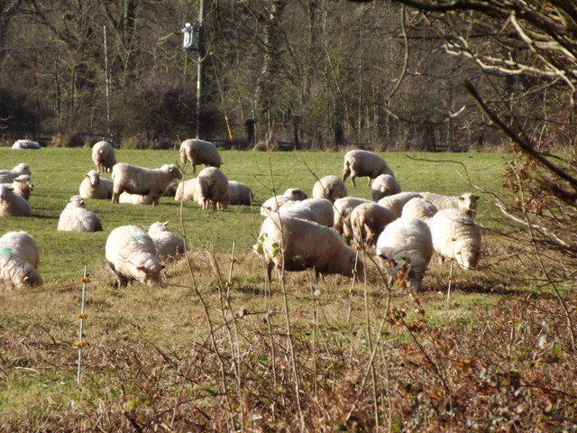 Sheep Grazing by Swan's Copse