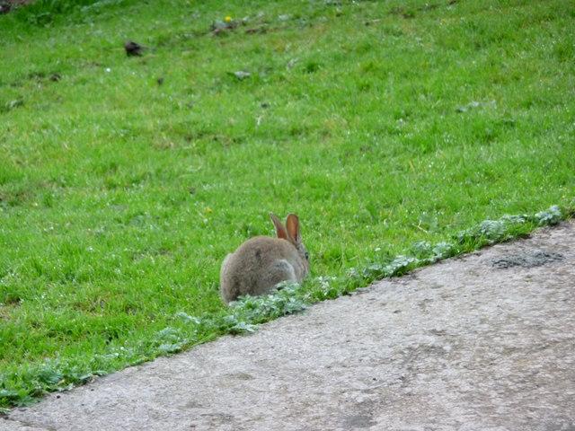 Rabbit at Troutbeck, Cumbria