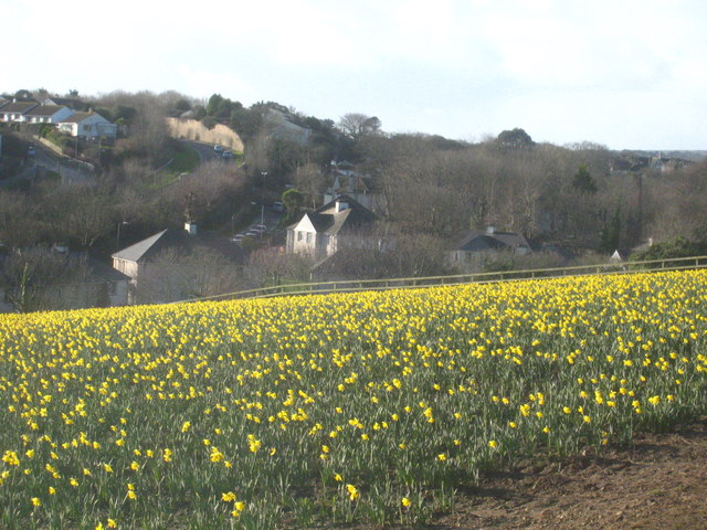 Daffodil field at Higher Trannack