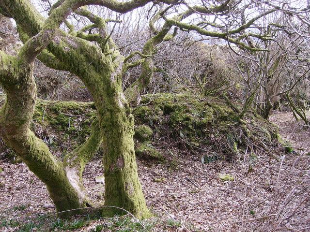 Deformed oak tree