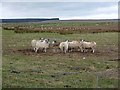 NZ0289 : Sheep feeder near Gallows Hill Farm by Oliver Dixon