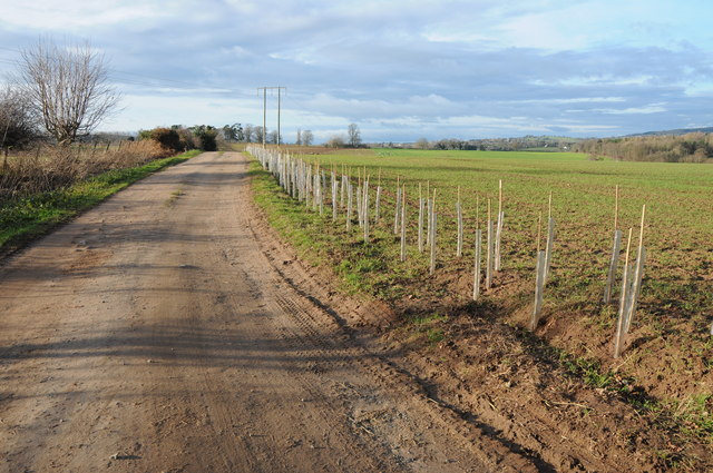 New hedge, Harewood End
