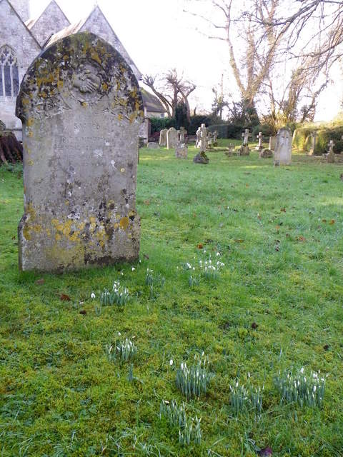 Snowdrops in the churchyard, Fovant