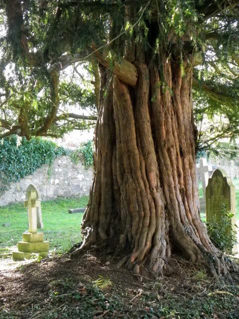 Yew tree, St George's Churchyard