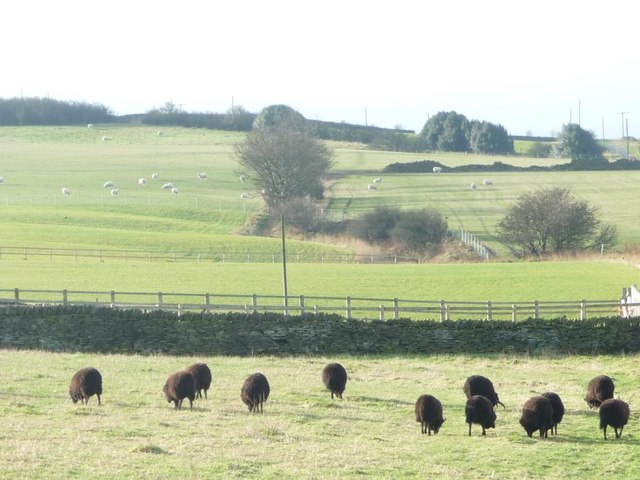 Black sheep grazing