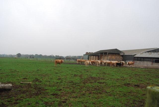 Cattle, Brooklands Farm