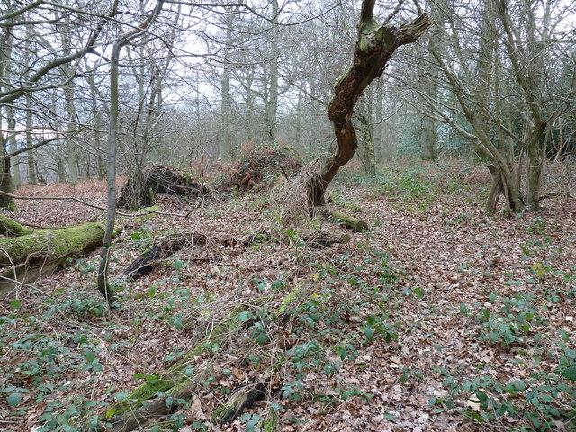 Fallen trees on the northern edge of Newnham Park Wood