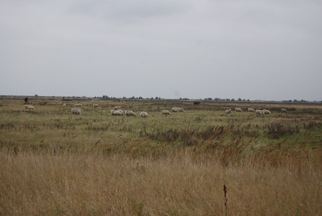 Sheep grazing Cliffe Marshes