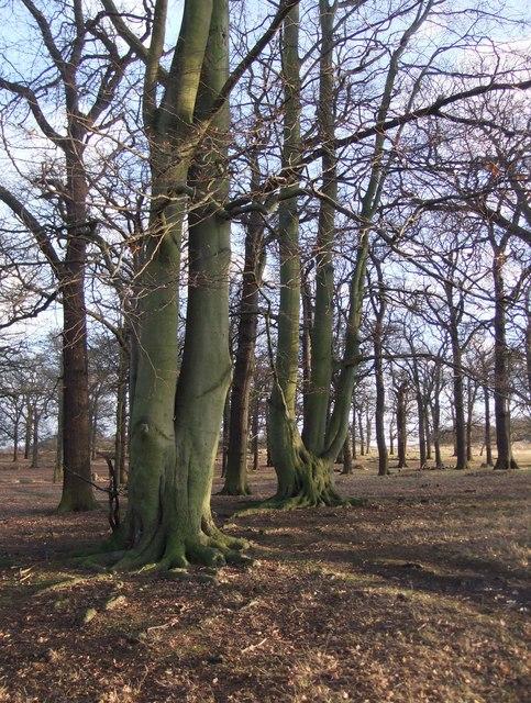 Conduit Wood, Richmond Park, in January