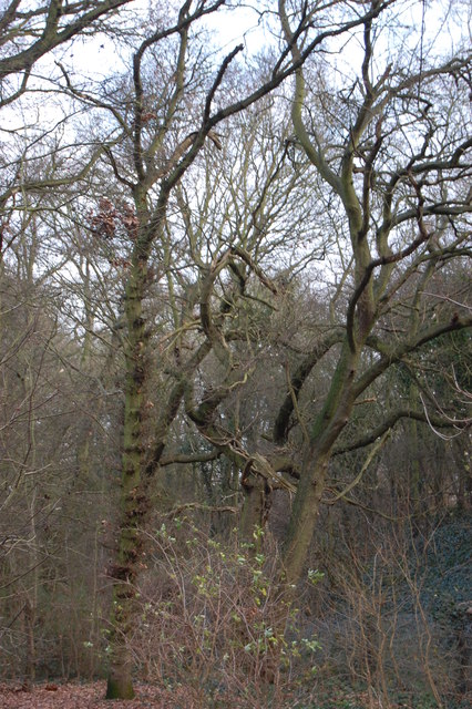 Winter Trees in Giddings Copse