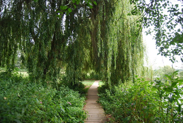 Weeping willow above a boardwalk