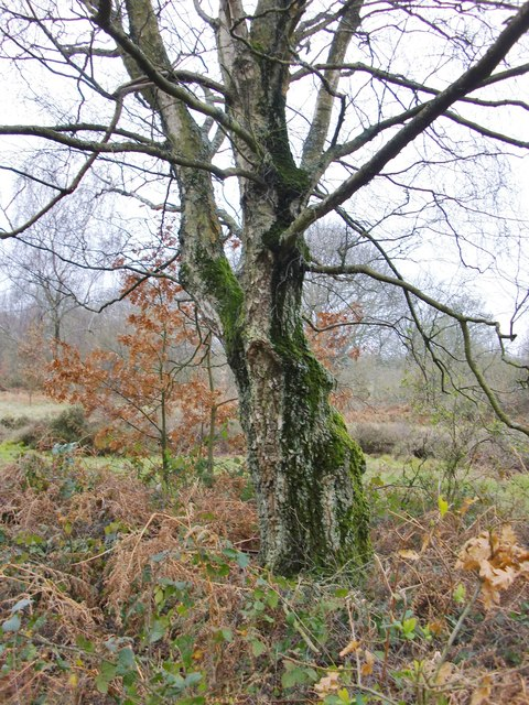 Silver birch in January, Ranmore Common