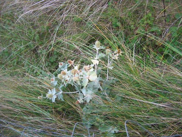 Sea holly in Hillend Burrows