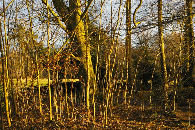 Late afternoon winter light on strip woodland, Farnborough