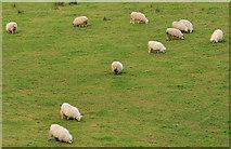 J4681 : Sheep, Crawfordsburn by Albert Bridge